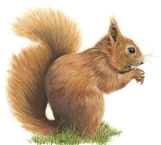 Red%20Squirrel%20sq_edited.jpg