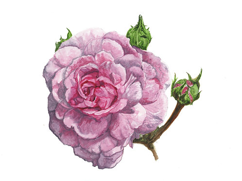 Rose - Watercolour Giclee Print