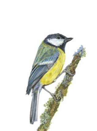 Great Tit Print - Coloured Pencil Drawing