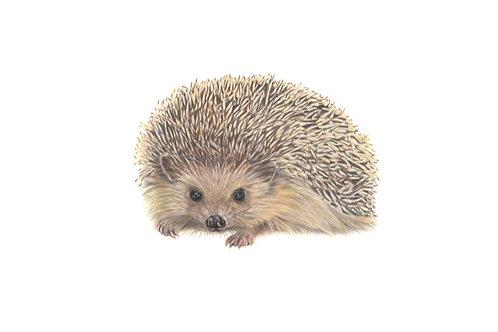 Rupert - Hedgehog Original Drawing