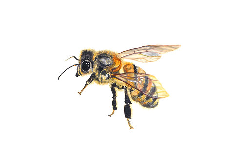 Watercolour Honey Bee - Giclee Print