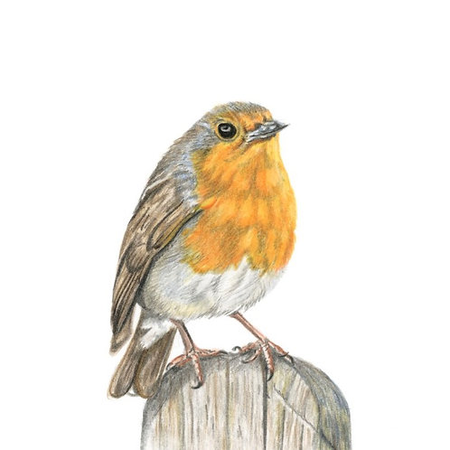 Robin Red Breast 'On the fence' - Coloured Pencil Drawing