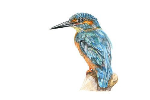 Beauty of Nature - Kingfisher in coloured pencils - Limited Edition Print