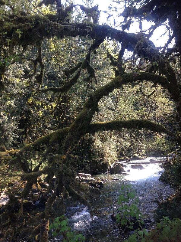 Tamihi Crk Through Mossy Tree.jpg