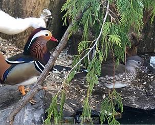 Mandarins & White Peacock.png