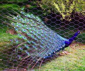 Peacock%202_edited.jpg