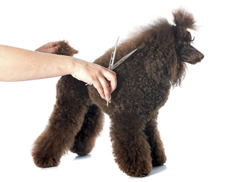 Fastrack Diploma Qualification For Experienced Groomers