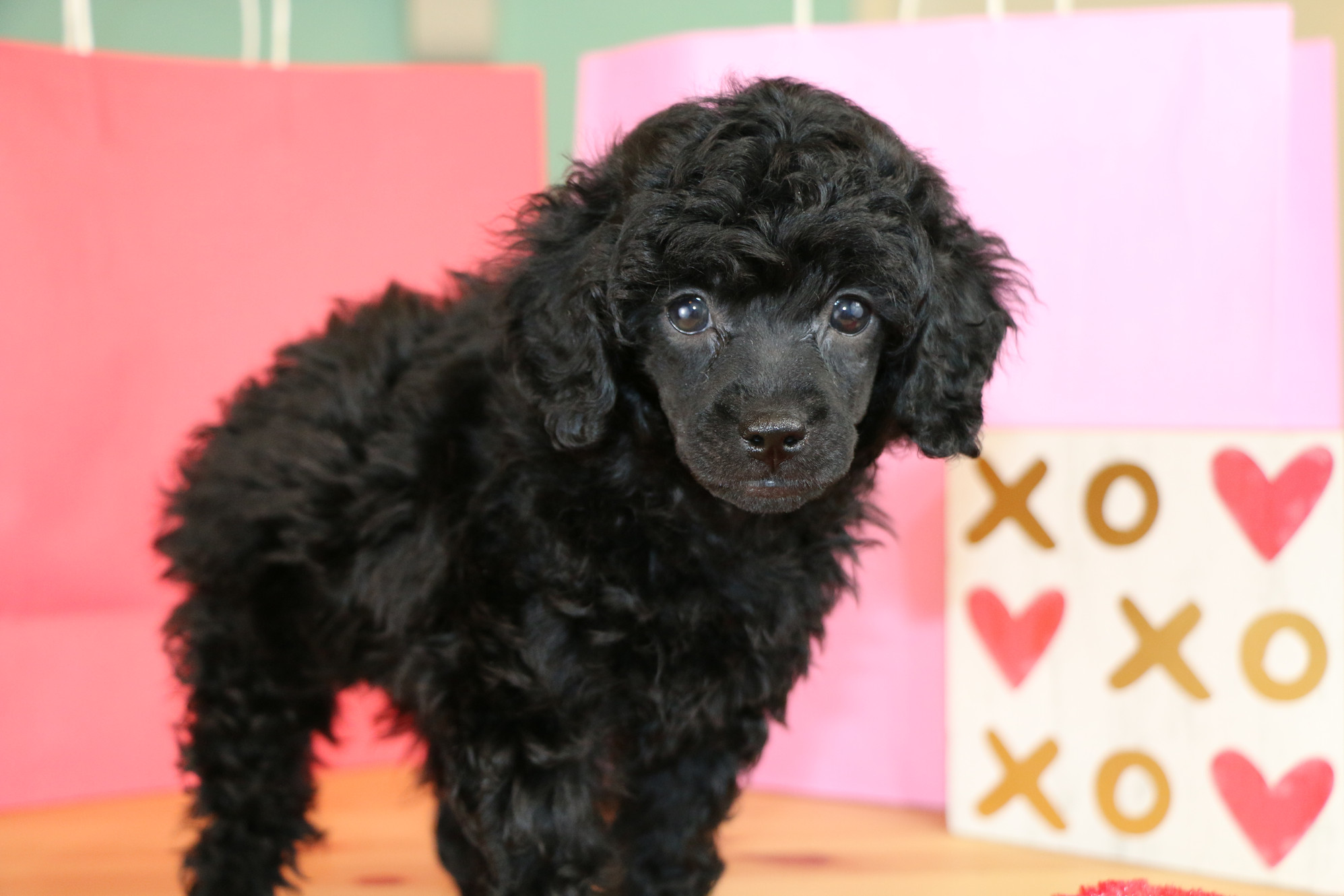 Mclane Poodles Akc Miniature Poodles For Sale