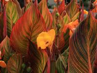 Tropicanna Leaves