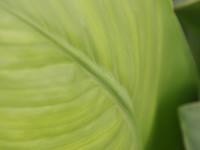 Green Canna Leaf