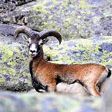 Mouflon-corse-evisa-aitone.png
