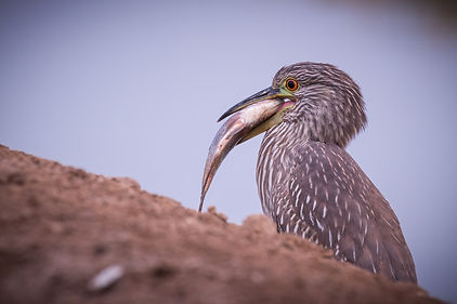 Black-crowned Night-Heron Juvenile 2 (1