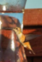 Rufous Hummingbird juv (1 of 1).jpg