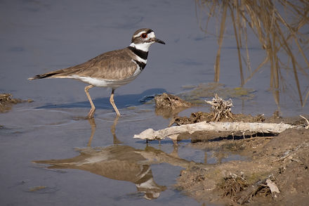 Kildeer (1 of 1).jpg