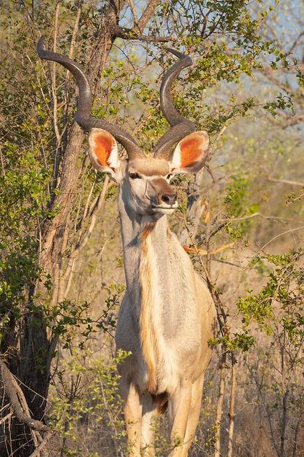 Kudu_edited.jpg