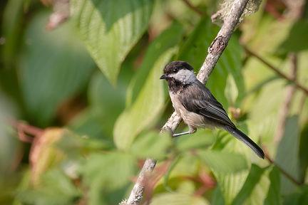 Black-capped Chickadee (1 of 1).jpg