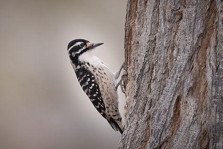 Ladder-backed Woodpecker (1 of 1).jpg