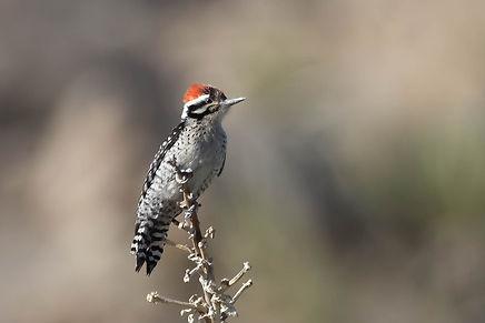 Nuttall's Woodpecker front JT (1 of 1).j