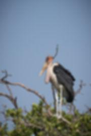 Marabou Stork 2a (1 of 1).jpg