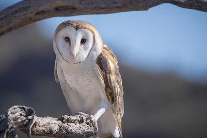 Barn Owl (1 of 1).jpg