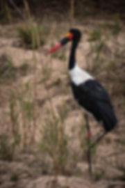 Saddle-Billed Stork_edited_edited.jpg