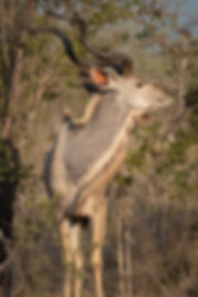 Kudu 2_edited.jpg