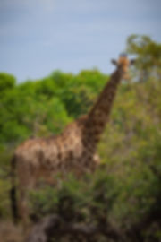 Giraffe (1 of 1).jpg
