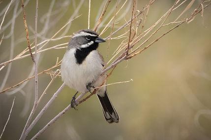 Black-throated Sparrow 2-00149 - Copy.jp