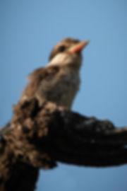 Brown-Hooded Kingfisher 2_edited_edited_