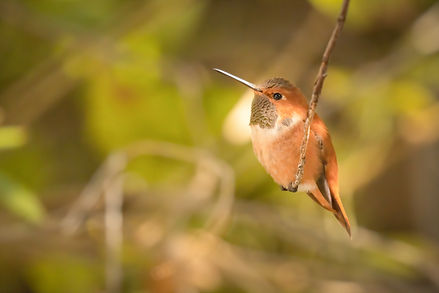 Rufous Hummingbird (1 of 1).jpg