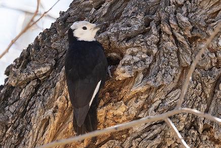 White-headed Woodpecker 2 Hurley (1 of 1
