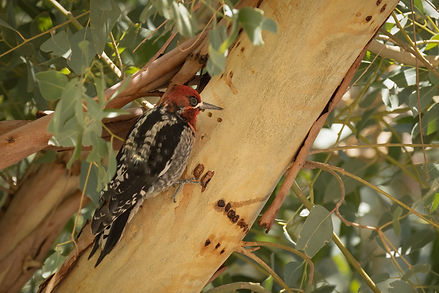 Red-breasted Sapsucker (1 of 1).jpg
