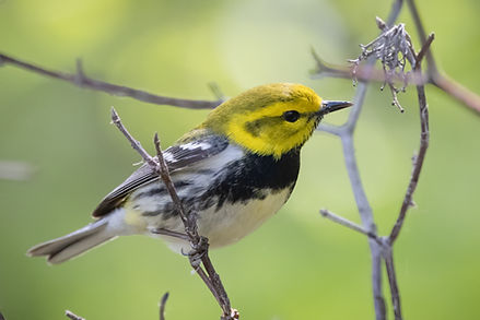 Black-throated Green Warbler 4.jpg
