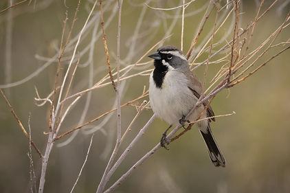 Black-throated Sparrow 3-00158 - Copy.jp