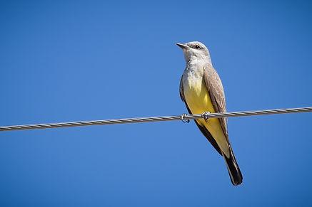 Western Kingbird (1 of 1).jpg