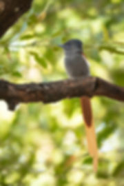 African Paradise Flycatcher (1 of 1).jpg