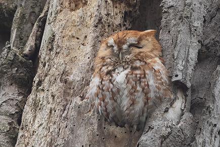 Eastern Screech-owl 2.jpg