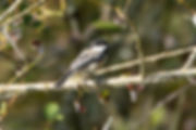 Black-Capped Chickadee (1 of 1)-denoise.