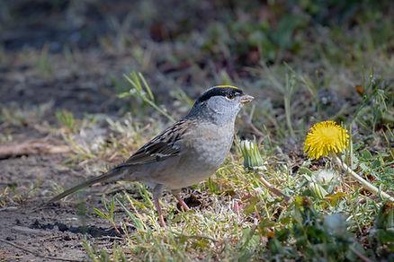 Golden-crowned Sparrow (1 of 1).jpg