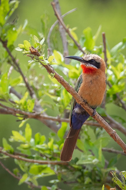 White-Fronted Bee-Eater 4_edited.jpg