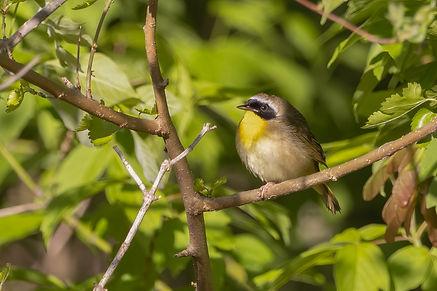 Common Yellowthroat 2.jpg