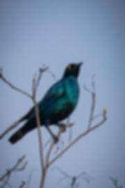Cape Gloss Starling 2 (1 of 1).jpg