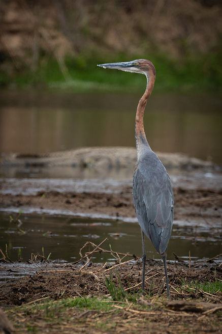 Goliath Heron (1 of 1).jpg
