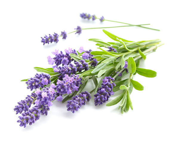Bunch of Lavender flowers on a white bac