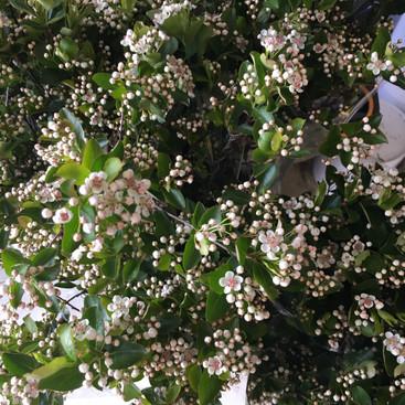 Aronia - Flowering