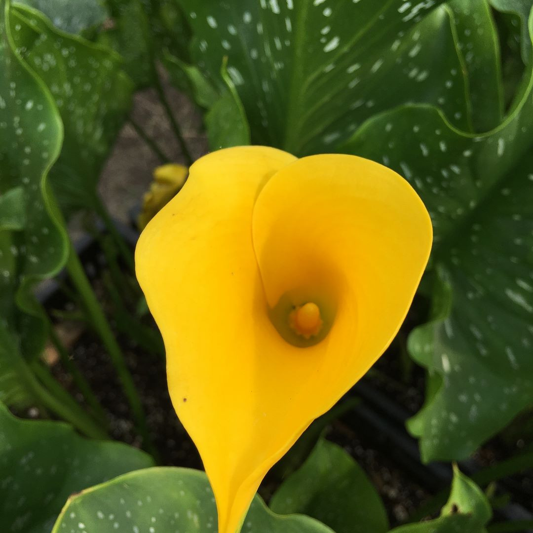 Calla Lily (yellow)