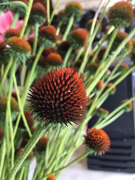 Echinacea (cones)