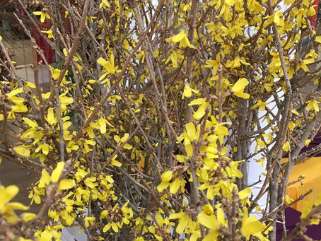 Spring Flowering Branches from Illinois Willows