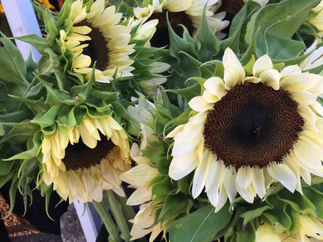 Sunflowers: Rich in History and Beauty