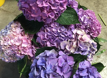 Four Reasons to Love Hydrangeas